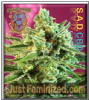 Sweet - S.A.D. CBD Female 5 Ganja Seeds